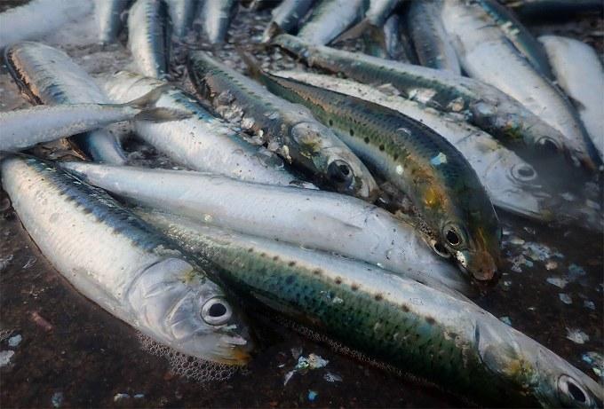 函館でイワシが入れ食い!ゆったりとサビキ釣行へ!