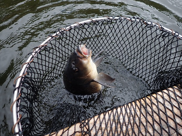 市ヶ谷フィッシュセンターの釣り方解説!鯉がほぼ必ず釣れるコツ。