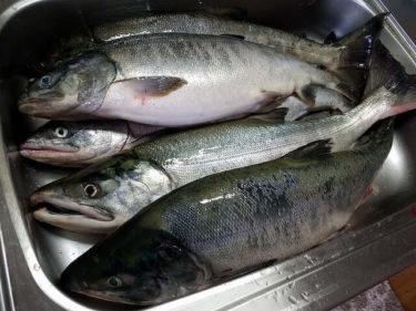 アキアジ(鮭)の釣り方!浮きルアーと浮き釣りの仕掛けを解説!
