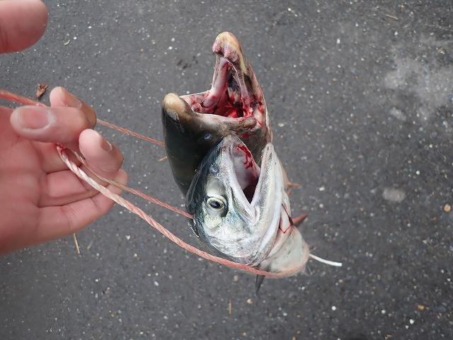 魚を美味しく持ち帰る方法を考える。鮭をストリンガーに繋いで放置はNG?