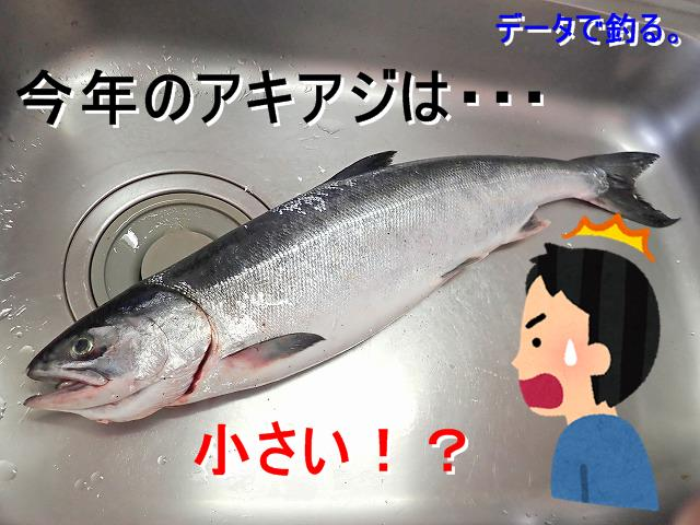 [2018]今年の鮭(アキアジ)は型が小さい?実は○年魚がほとんどだった!