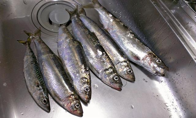 ニシン釣りはどんな仕掛けが必要?ロッドやリール、サビキの選び方まで!