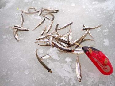ワカサギ釣り3時間勝負。ダブル、トリプル連発で300匹達成!