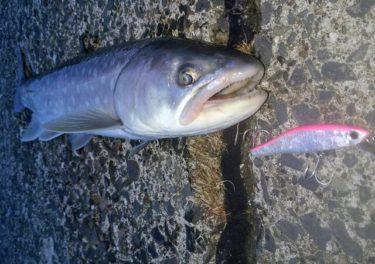【2019】釧路でサクラマス釣行。アメマスヒットも本命は?