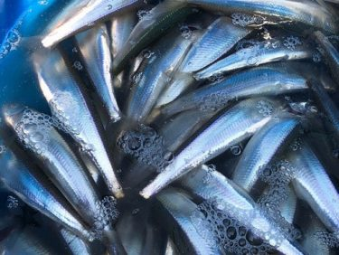【北海道釣り情報】4月の釣果投稿~第2弾!増毛港チカ情報など~18日更新