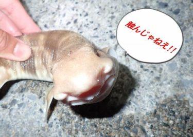 函館港内アナゴ(ハモ)調査へ。トラザメのち大物○○ヒット。