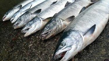 道東鮭(アキアジ)釣り爆釣情報!一人で10本近くのヒットも~1日目