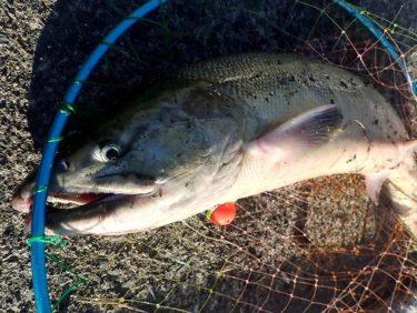 日本海鮭釣り(アキアジ)遠征!浮きルアーからのフカセ釣りで道南初物ゲット!