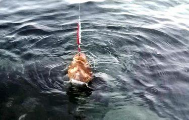 函館近郊サクラマス調査part2!茶色いアレと黒いアレが釣れた。