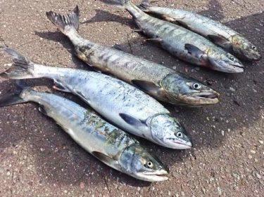 日本海鮭釣り!忘れ去られた鮭、移動後プチ爆。withK君