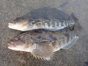 【泳がせ釣り】またもや50cm寸前のアブラコ。餌確保が自転車操業。