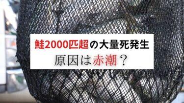 赤潮が影響か。秋鮭2000匹以上が大量死!!【豊頃・大津漁港】